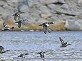 Eurasian Wigeon (Anas penelope) & Northern Shoveler (Anas clypeata) (31365472567).jpg
