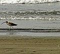 Eurasian curlew.jpg