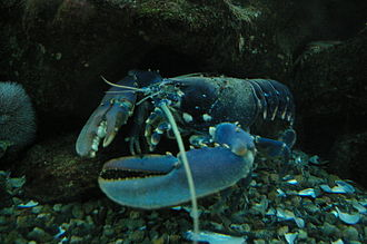 Island ecology - Lobster benefit greatly from the establishment of no-take zones on islands such as Great Britain, New Zealand, and Tonga.