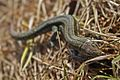 European Common Lizard (Zootoca vivipara) (8618629833).jpg