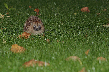 European hedgehog(js)03.jpg
