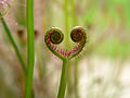 Even insectivorous plants have a heart.jpg
