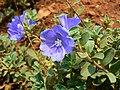 Evolvulus glomeratus 'Blue Daze' (452084892).jpg