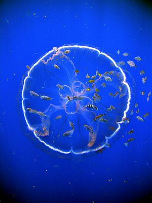 Underwater camouflage - Many animals of the open sea, like this Aurelia labiata jellyfish, are largely transparent.