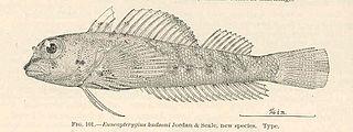 Hudsons triplefin species of fish