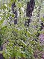 Fagus sp. (Fagaceae) 05.jpg