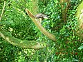 Falcon on a branch at Ashford Castle, Cong - panoramio.jpg