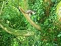 Falcon on a branch at Ashford Castle, Cong - panoramio.jpg