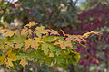 Fall Leaves (9600018150).jpg