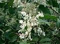 Fallopia japonica3.jpg