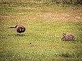Fasan und Kaninchen Amrum.jpg