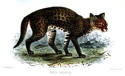 Un dessin d'un chat doré africain
