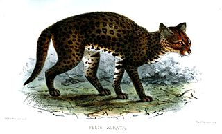 African golden cat Small wild cat