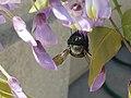Female California carpenter bee 2.jpg