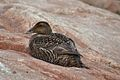 Female Common Eider (5974497341).jpg