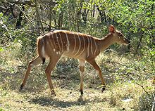 Female Nyala-JD.JPG