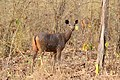Female Sambar Deer.jpg