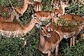 Female impalas (31609173734).jpg