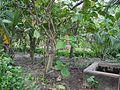 Ficus auriculata (5926354123).jpg