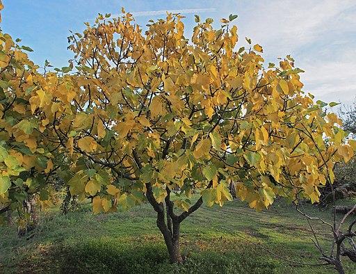 Ficus carica 20181117a