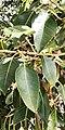 Ficus cordata - Leaves.jpg