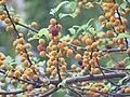 Ficus exasperata - Brahma's Banyan fruits at Peravoor 2018 (7).jpg