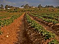 Fields of Gan Shlomo, Shfelah , Israel שדות קבוצת שילר, שפלת יהודה - panoramio (3).jpg