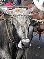 Fieracavalli 2014 - Buoi maremmani5.jpg