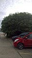 Fig Tree Strood.jpg