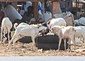 Fighting goats in Gambia.jpg