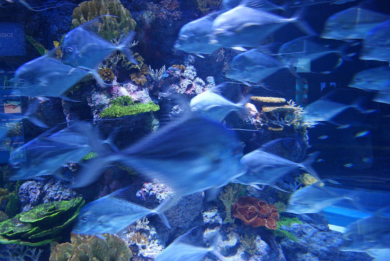Fish aquarium in sentosa - File Fish In The S E A Aquarium Marine Life Park Resorts World Sentosa Singapore 20130105 07 Jpg