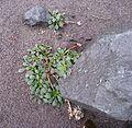 Flickr - brewbooks - Cistanthe umbellata, Goat Rocks, Mount St Helens.jpg