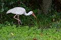 Flickr - ggallice - American white ibis.jpg