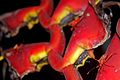 Flickr - ggallice - Heliconia bugs.jpg