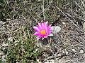 """Flor de """"Viejito"""" San Juanito, San Antonio de las Alazanas, Arteaga, Coahuila - panoramio.jpg"""