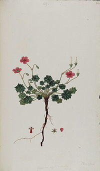 Flora Graeca Geranium asphodeloides
