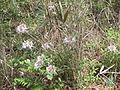 Flowering Bush 01, Reed Bingham State Park.JPG