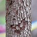 Flowering Dogwood (34130352485).jpg