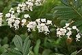 Flowers of Kerala03861.jpg