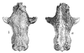 Fossil skull Tritylodon Woodward.png