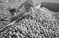Fotothek df pk 0000155 085 Kartoffelernte.jpg