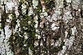 Fraxinus uhdei 11zz.jpg