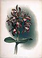Frederick Sander - Reichenbachia II plate 77 (1890) - Cattleya guttata leopoldi.jpg