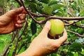 Fresh Apel Malang from Its Tree.jpg