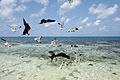 Frigatebirds, Laughing Gulls, Silk Caye, Stann Creek, Belize.jpg