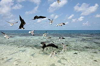 Gladden Spit and Silk Cayes Marine Reserve - Image: Frigatebirds, Laughing Gulls, Silk Caye, Stann Creek, Belize