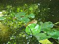 Frog at Columbus Zoo (26037985272).jpg