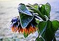 Frozen sun - Flickr - Stiller Beobachter.jpg