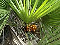 Frutos de palmera enana Chamaerops humilis.jpg