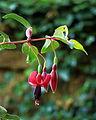 Fuchsia 'Ciske De Rat'.JPG